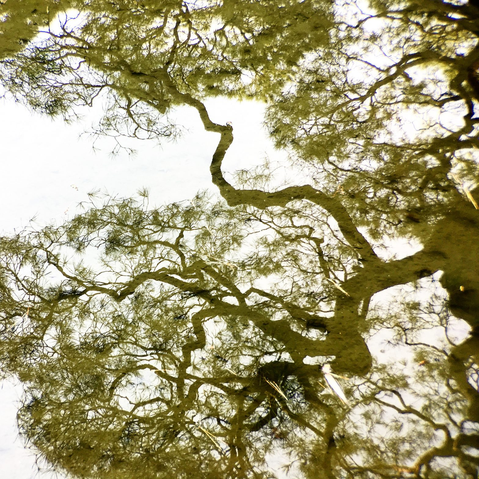 A reflection of a tree in a pond at a Japanese temple