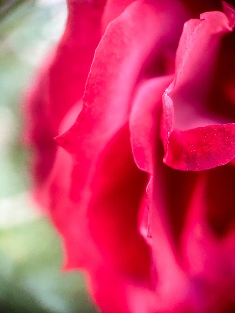 A close-up of red rose petals.