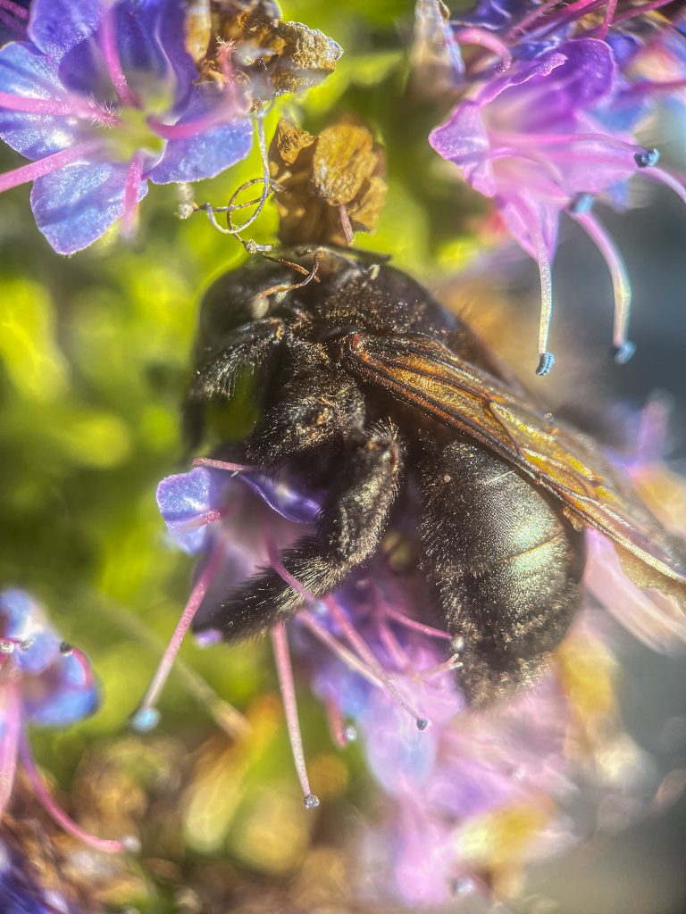 A black carpenter bee rests in a bunch of small flowers.