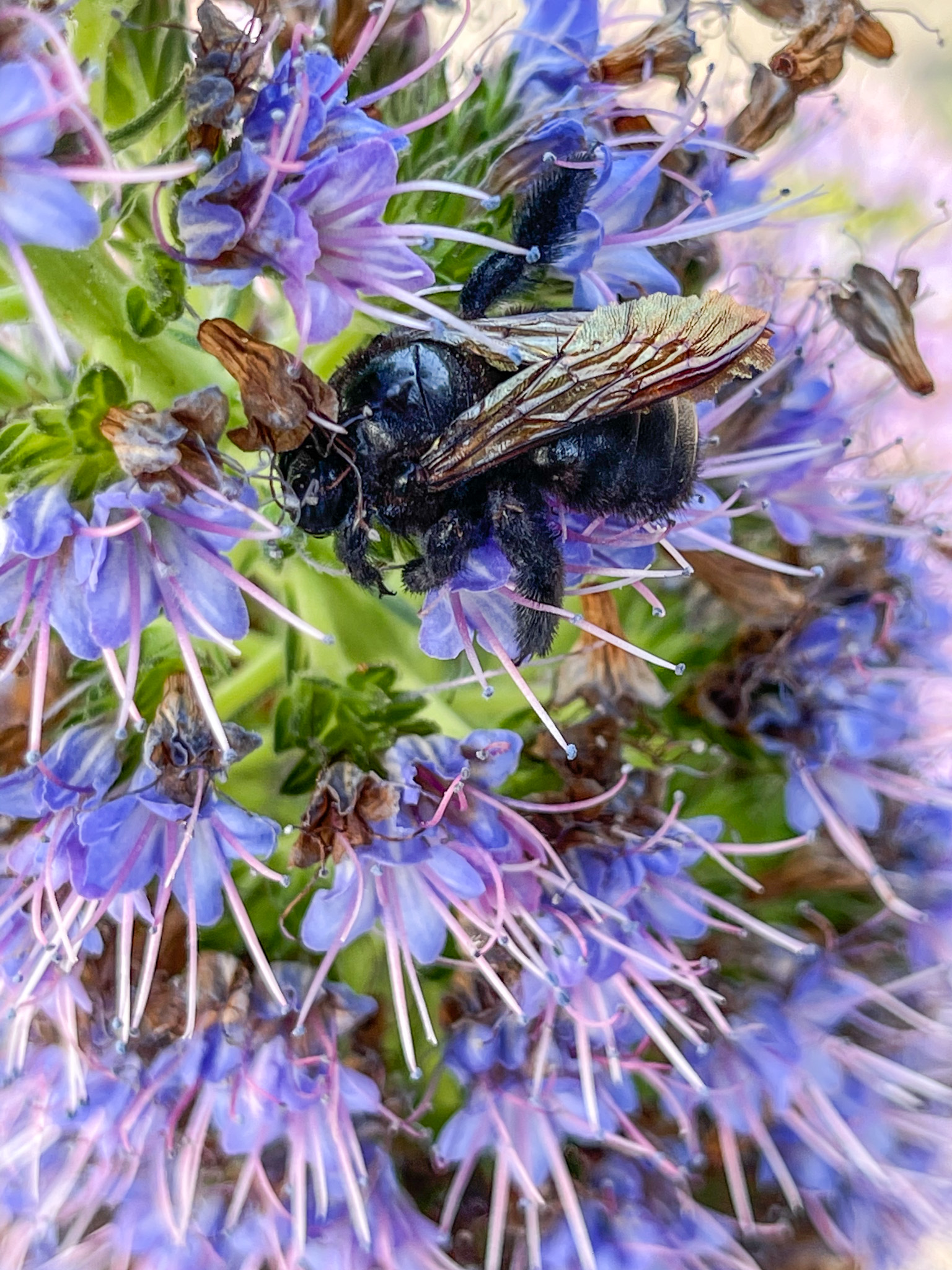 A black carpenter bee nestled in a series of blue flowers.